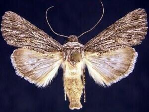http://mothphotographersgroup.msstate.edu/species.php?hodges=10135.4