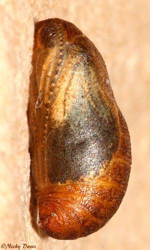 http://www.wildutah.us/images/butterflies_moths/lycaenidae/polyommatinae/b_glaucopsyche_piasus_daunis_1053am_sept2407_006.jpg