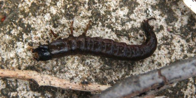 http://animaldiversity.ummz.umich.edu/collections/contributors/phil_myers/coleoptera/Carabidae/carabid_larva4033/