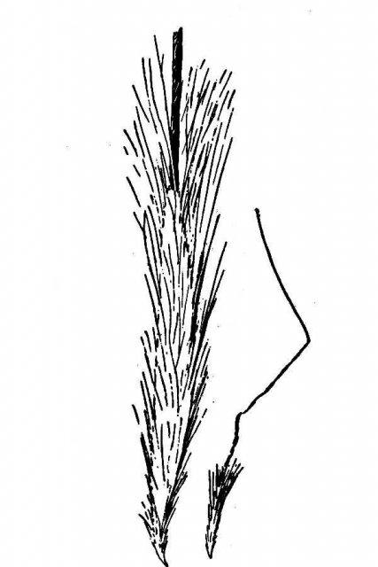 http://plants.usda.gov/java/largeImage?imageID=stri2_001_avd.tif
