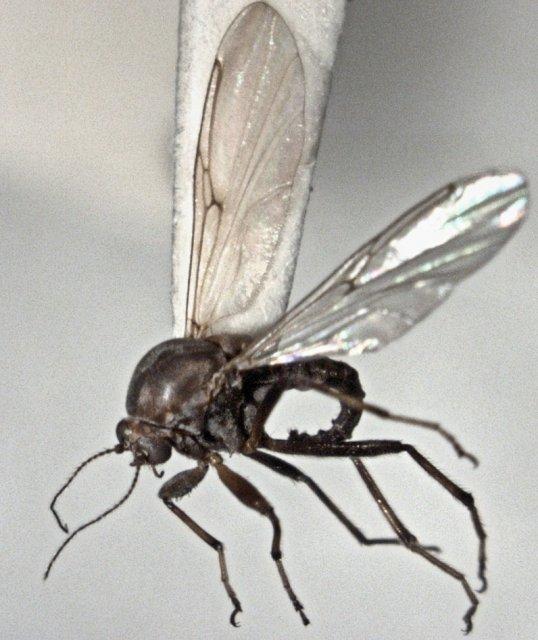 http://commons.wikimedia.org/wiki/File:Palpomyia_cantuaris_female.jpg