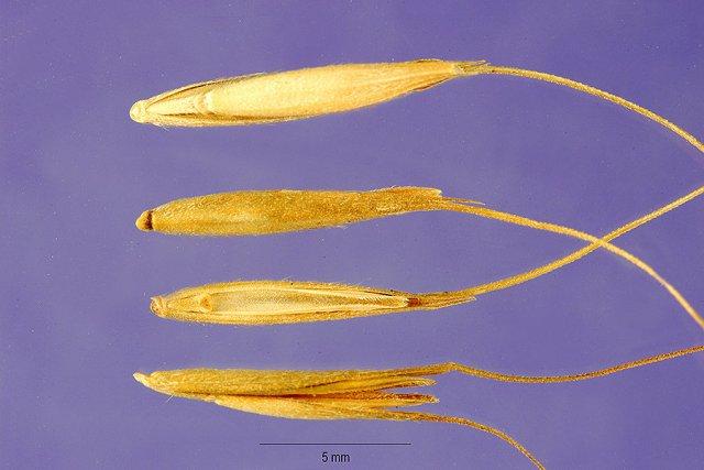 http://plants.usda.gov/gallery/large/elma9_003_lhp.jpg