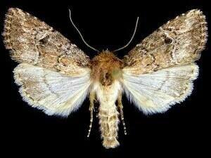 http://mothphotographersgroup.msstate.edu/species.php?hodges=10530