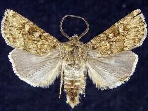 http://mothphotographersgroup.msstate.edu/species.php?hodges=10704
