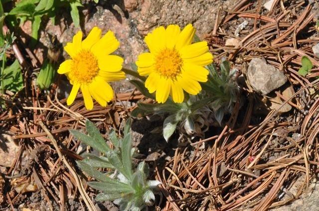 http://www.biopix.com/tetraneuris-acaulis-var-acaulis_photo-91555.aspx