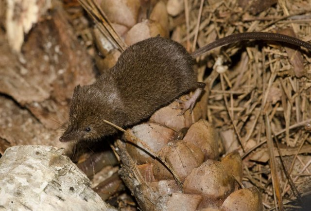 http://animaldiversity.ummz.umich.edu/collections/contributors/phil_myers/ADW_mammals/Insectivora/Sorex5336/