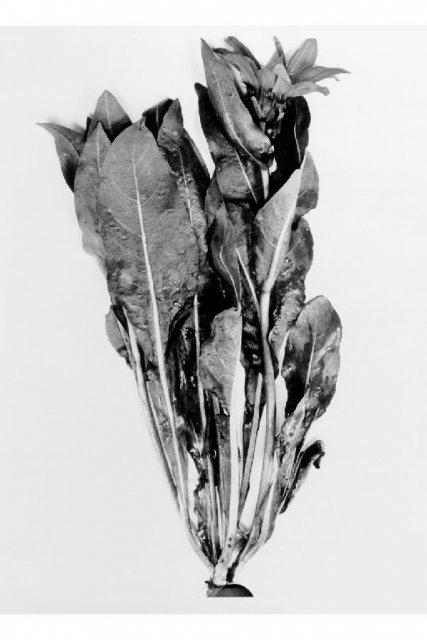 http://plants.usda.gov/gallery/large/wyam_004_lvp.jpg