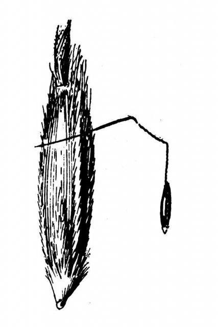 http://plants.usda.gov/java/largeImage?imageID=stle2_001_avd.tif