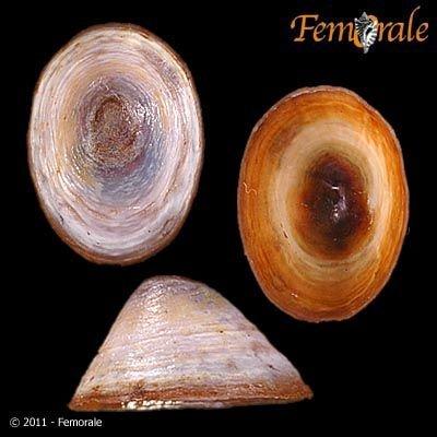 http://www.femorale.com/shellphotos/detail.asp?species=Lanx%20alta%20(Tryon,%201865)
