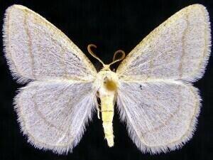 http://mothphotographersgroup.msstate.edu/species.php?hodges=6266