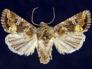 http://mothphotographersgroup.msstate.edu/species.php?hodges=10398