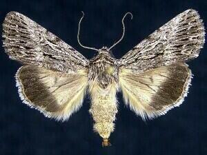 http://mothphotographersgroup.msstate.edu/species.php?hodges=10094.4