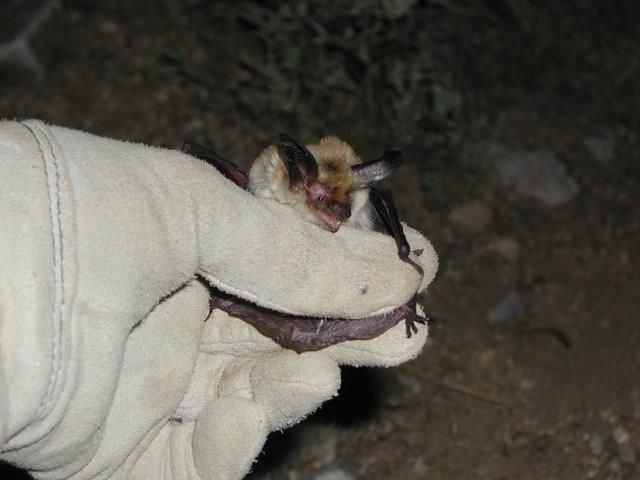 http://animaldiversity.ummz.umich.edu/site/resources/tanya_dewey/Myev2.jpg/medium.jpg