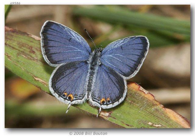 http://butterfliesofamerica.com/cupido_c_comyntas_live1.htm