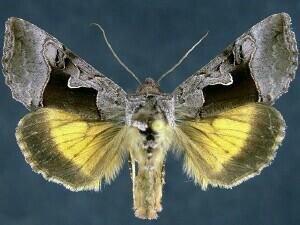 http://mothphotographersgroup.msstate.edu/species.php?hodges=8930