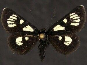 http://mothphotographersgroup.msstate.edu/species.php?hodges=9319