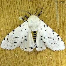 http://mothphotographersgroup.msstate.edu/species.php?hodges=8131