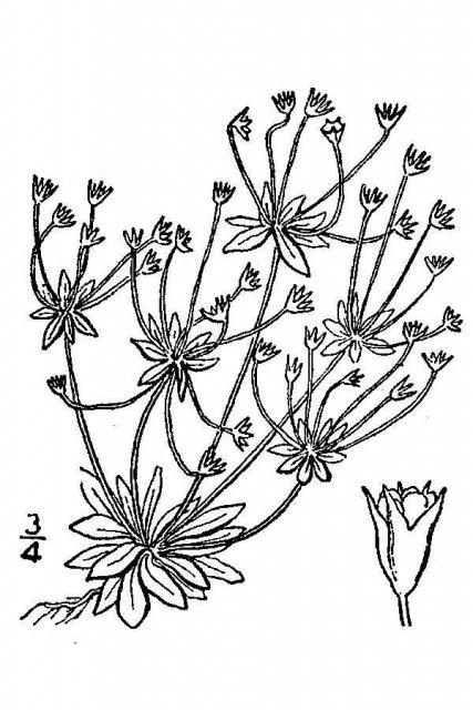 http://plants.usda.gov/java/largeImage?imageID=anoc2_001_avd.tif