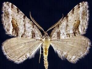 http://mothphotographersgroup.msstate.edu/species.php?hodges=6308