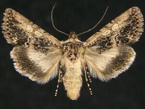 http://mothphotographersgroup.msstate.edu/species.php?hodges=10085.1