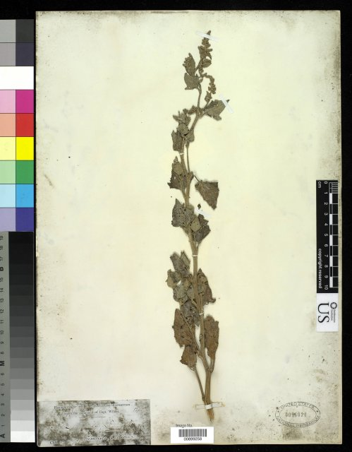 http://collections.mnh.si.edu/services/media.php?env=botany&irn=10213016