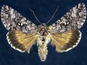 http://mothphotographersgroup.msstate.edu/species.php?hodges=8943