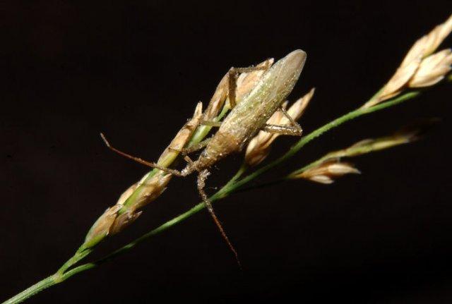 http://animaldiversity.ummz.umich.edu/collections/contributors/phil_myers/hemiptera/Trigonotylus_ruficornis/
