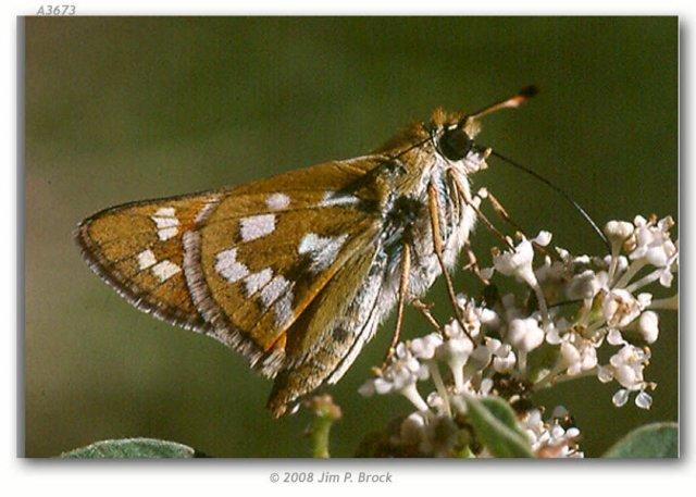http://butterfliesofamerica.com/hesperia_viridis_live1.htm