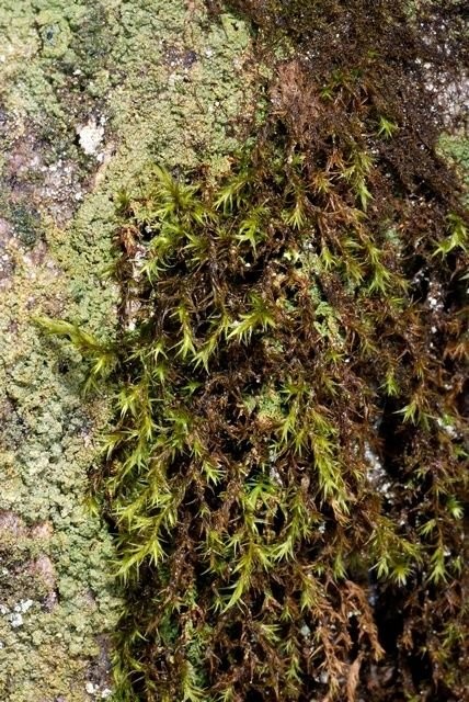 http://www.biopix.com/green-mountain-fringe-moss-racomitrium-fasciculare_photo-53836.aspx