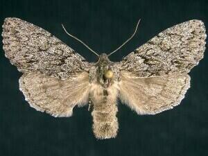 http://mothphotographersgroup.msstate.edu/species.php?hodges=9564