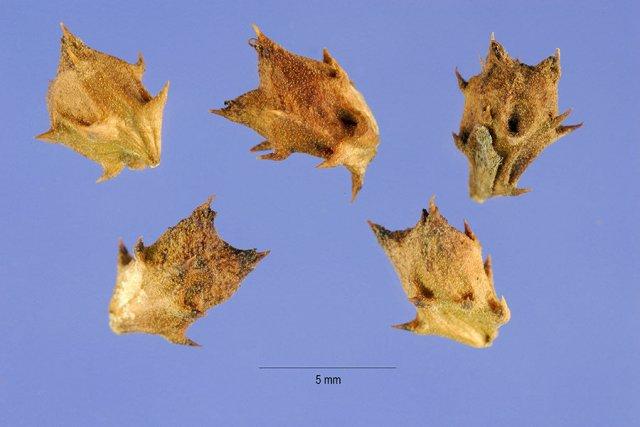 http://plants.usda.gov/java/largeImage?imageID=amto3_001_ahp.tif