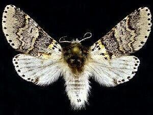 http://mothphotographersgroup.msstate.edu/species.php?hodges=7939