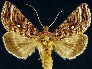 http://mothphotographersgroup.msstate.edu/species.php?hodges=8912
