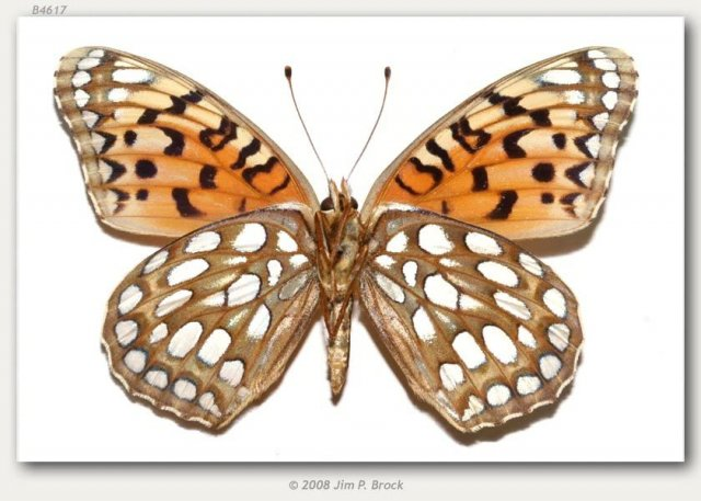 http://butterfliesofamerica.com/images/Nymphalidae/Argynnini/Speyeria_edwardsii/Speyeria_edwardsii_6_Mi_W_of_Buffalo_Johnson_Co_WY_USA_10-VII-79_2.JPG