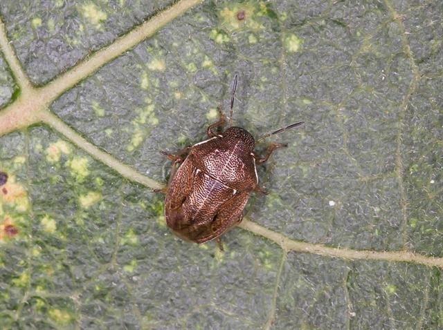 http://www.biopix.com/neottiglossa-pusilla_photo-82748.aspx