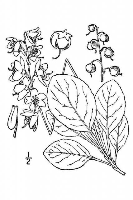 http://plants.usda.gov/java/largeImage?imageID=pyel_001_avd.tif