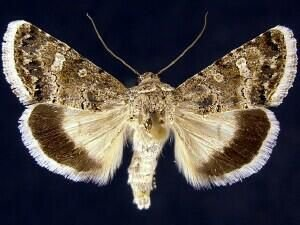 http://mothphotographersgroup.msstate.edu/species.php?hodges=10092