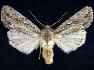http://mothphotographersgroup.msstate.edu/species.php?hodges=9576