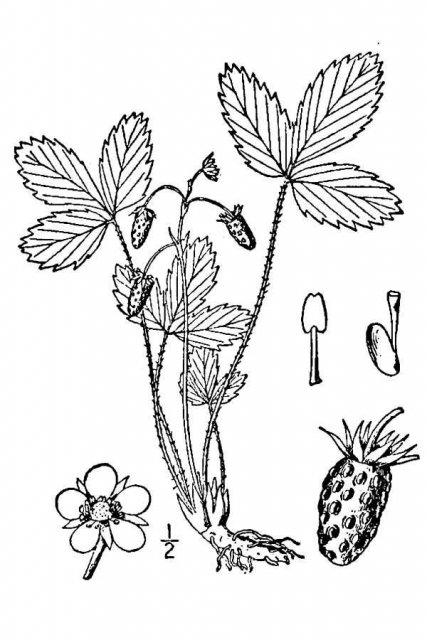 http://plants.usda.gov/java/largeImage?imageID=frca11_001_avd.tif