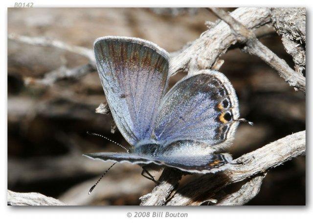 http://butterfliesofamerica.com/cupido_amyntula_montanorum_live1.htm