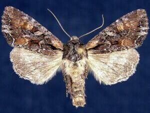 http://mothphotographersgroup.msstate.edu/species.php?hodges=10296