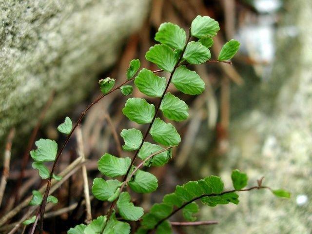 http://www.biopix.com/maidenhair-spleenwort-asplenium-trichomanes-ssp-trichomanes_photo-6743.aspx