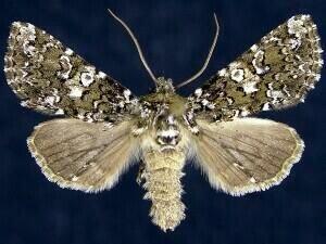 http://mothphotographersgroup.msstate.edu/species.php?hodges=10326