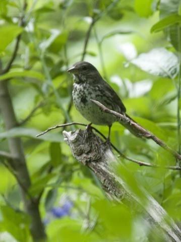 http://animaldiversity.ummz.umich.edu/site/resources/phil_myers/ADW_birds_3_4_03/fox sparrow8948.jpg/medium.jpg