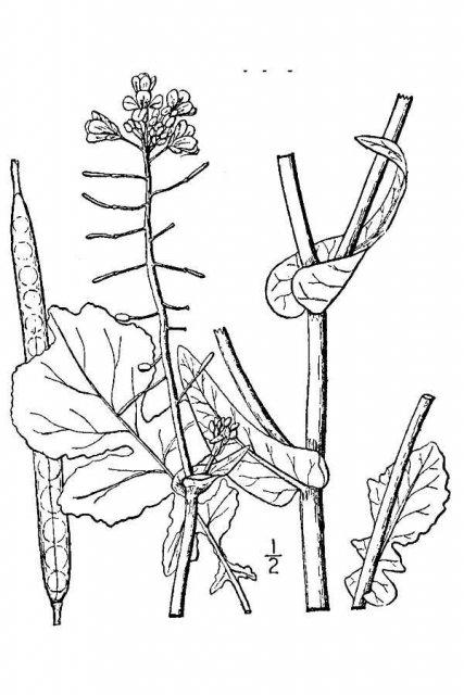 http://plants.usda.gov/java/largeImage?imageID=brca2_001_avd.tif