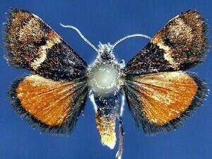 http://mothphotographersgroup.msstate.edu/species.php?hodges=4811