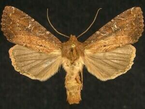 http://mothphotographersgroup.msstate.edu/species.php?hodges=9365