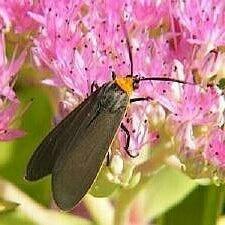 http://mothphotographersgroup.msstate.edu/species.php?hodges=8267