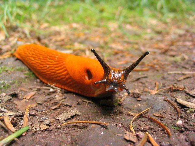 http://commons.wikimedia.org/wiki/File:Orange_slug.jpg
