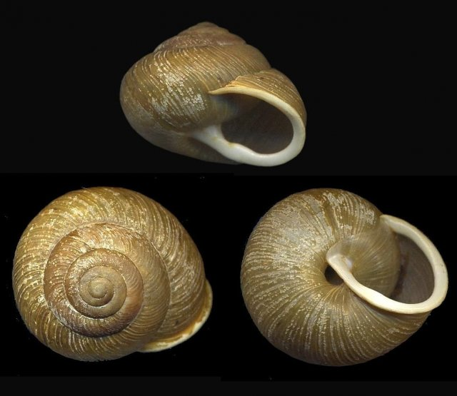 http://commons.wikimedia.org/wiki/File:AllogonaPtychophora1.jpg